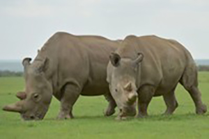 rhinos at Safari Park